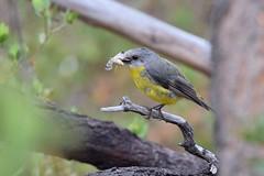 Eastern Yellow Robin  ( feeding time )