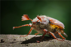 European Cockchafer