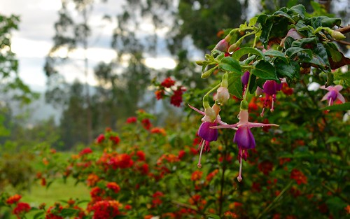 desktop flowers plants peru southamerica levanto featured northernandes chachapoyasdistrict