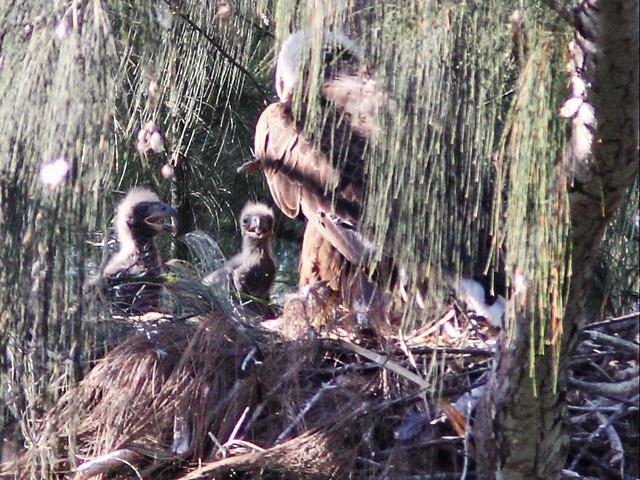 Bald Eagle 2 eaglets 2-20160407