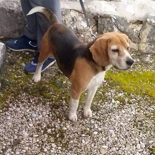 #cane #dog