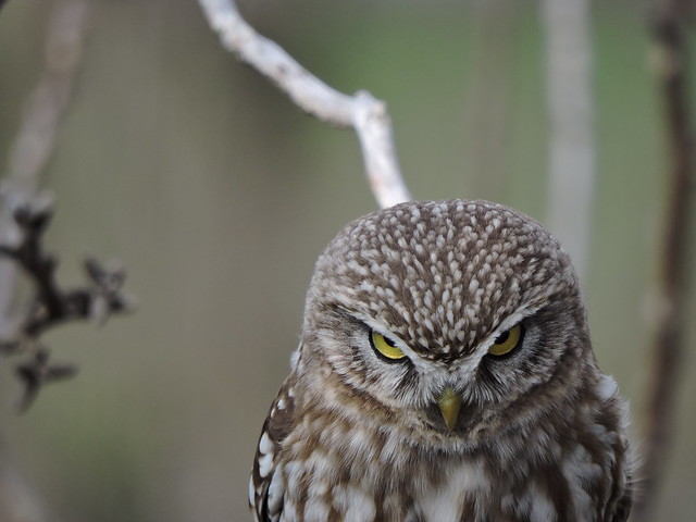 Civetta / Little Owl (Athene noctua)