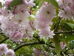 Cherry Blossom...