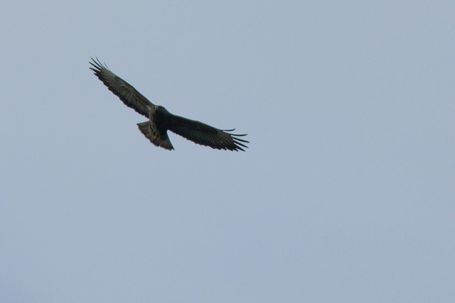 Buzzard flying by the Severn