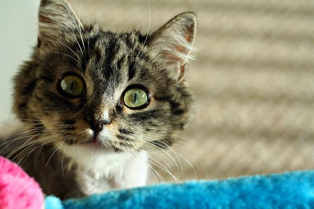 Olive Kitty