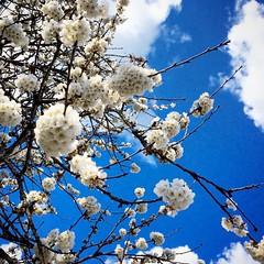 Des #nuages de #fleurs #flowers #spring #tree #nature #naturelovers #bluesky - Photo of Gondeville