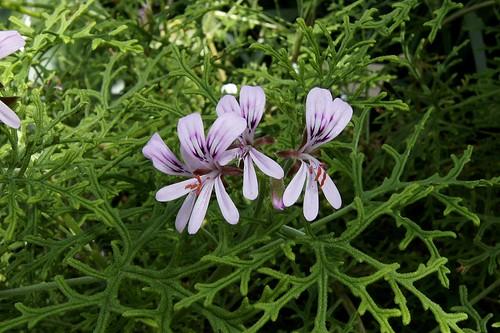Pelargonium radens