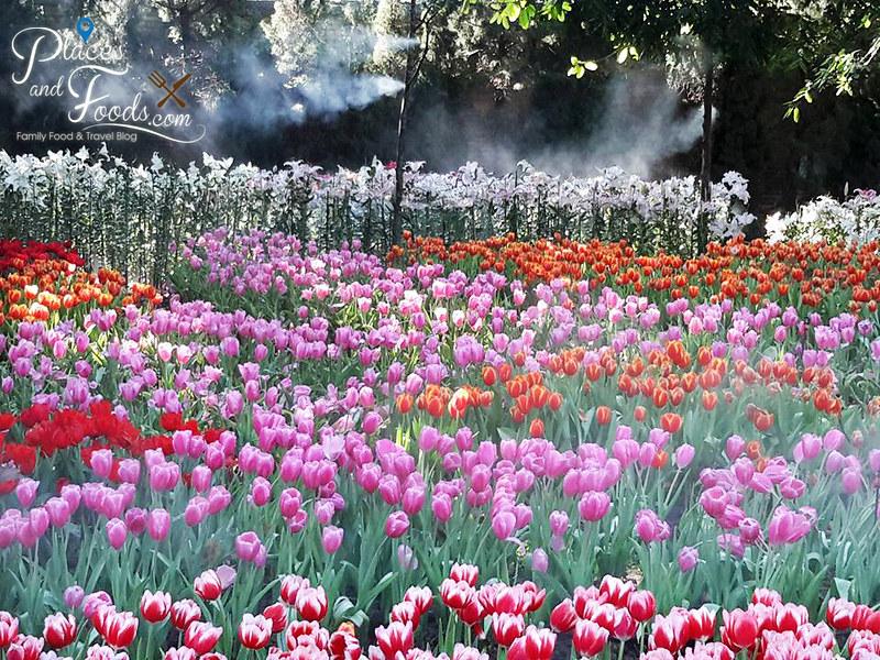 tulip farm in thailand tung chiang rai memorial park