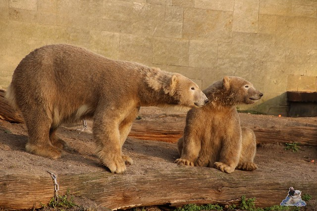 Eisbär Fiete im Zoo Rostock  0389