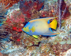 Queen Angel Fish - Blackbird Caye - Belize 2016