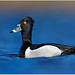 Ring-necked Duck by BN Singh