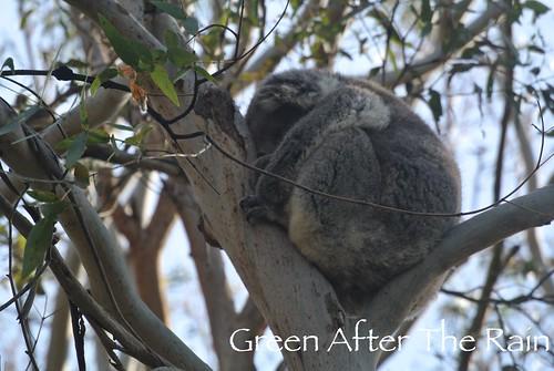 150911j Phillip Island Koala Conservation Centre _06