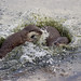 Otter territorial battle (part two) (5053) by Le Photiste