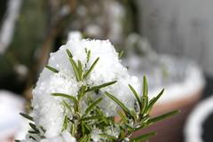 Schneerosmarin