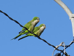 Monk Parakeets - Florida by SpeedyJR
