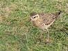 Pacific Golden-Plover (Pluvialis fulva) by Chub G's M&D