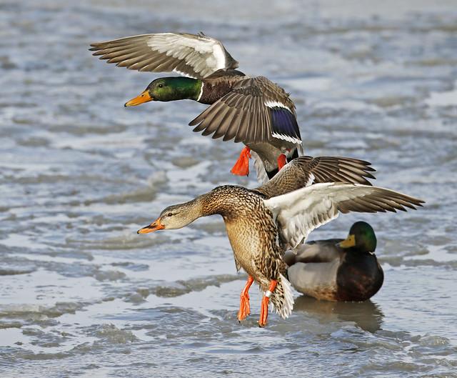 Mallard pair landing on ice