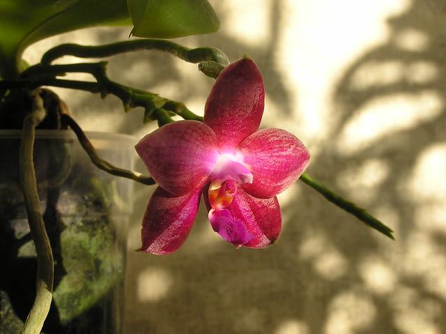 Phalaenopsis 'Lea Maria Salazar'