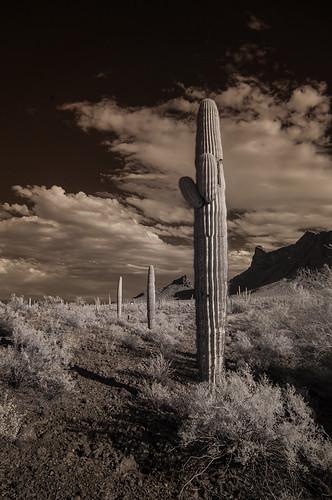camping arizona cactus nature composition infrared saguaro picachopeakstatepark carnegieagigantea infraredphotography convertedinfraredcamera