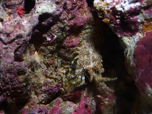 P4173091 假綿羊蝦