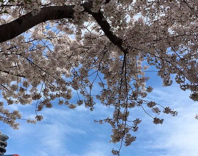 お花見ウクレレ20150404-1