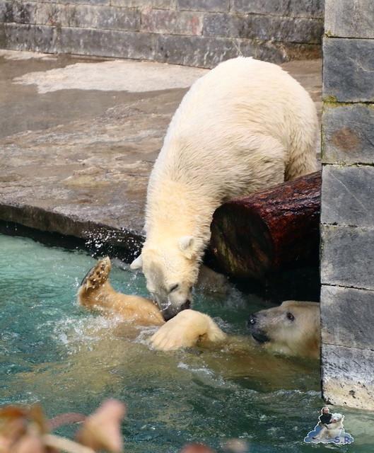Eisbär Fiete im Zoo Rostock 20.03.2016  086