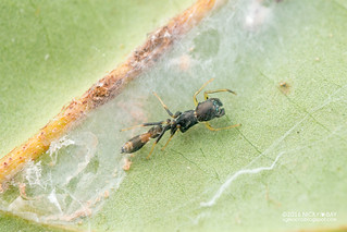 Ant-mimic jumping spider (Myrmarachne sp.) - DSC_7657
