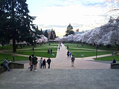 View Down the Quad Axis:  Yoshino Cherry Blossom Season at the University of Washington