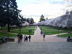 View Down the Quad Axis:  Yoshino Cherry Blossom Season at the University of Washington