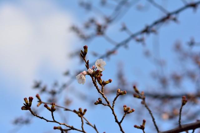 まだ咲き始めたばかりのソメイヨシノの写真