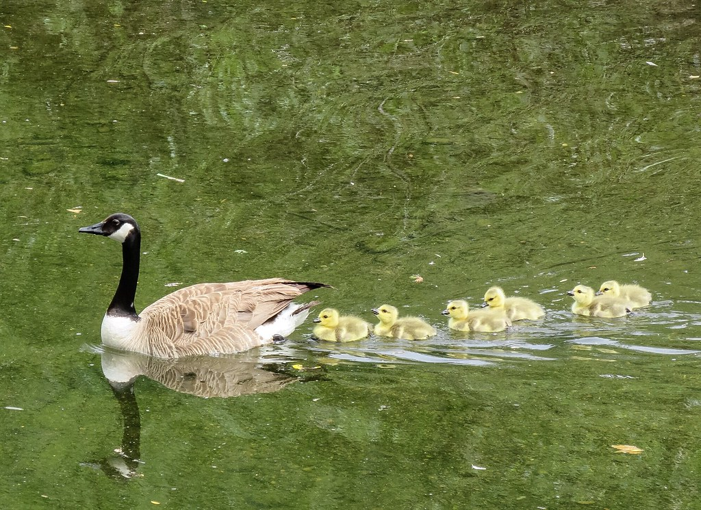 The first goslings of the season follow in a row along the San Luis Creek in Avila Beach.