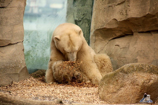 Eisbär Lili im Zoo am Meer Bremerhaven 09.04.2016 Teil 2  028