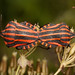 Graphosoma lineatum by Hyönteismies
