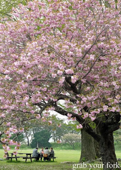Picnic under a sakura cherry blossom tree at Matsumae Castle in Hokkaido, Japan