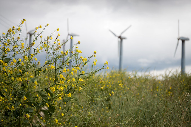 Wildflower and Windmills