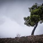 Baum in Šibenik