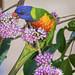 the nectar hunters - rainbow lorikeet in the eurodia tree by Fat Burns ☮ (on/off)