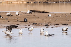 Sidi Ifni, oiseaux lelong de la plage