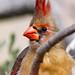Rotkardinal (Weibchen), Northern Cardinal (Cardinalis cardinalis) , NGID1120461459