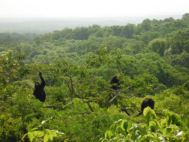 Micos entre les ruïnes de Tikal.