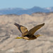 American Bittern in Flight by Susan Colosimo