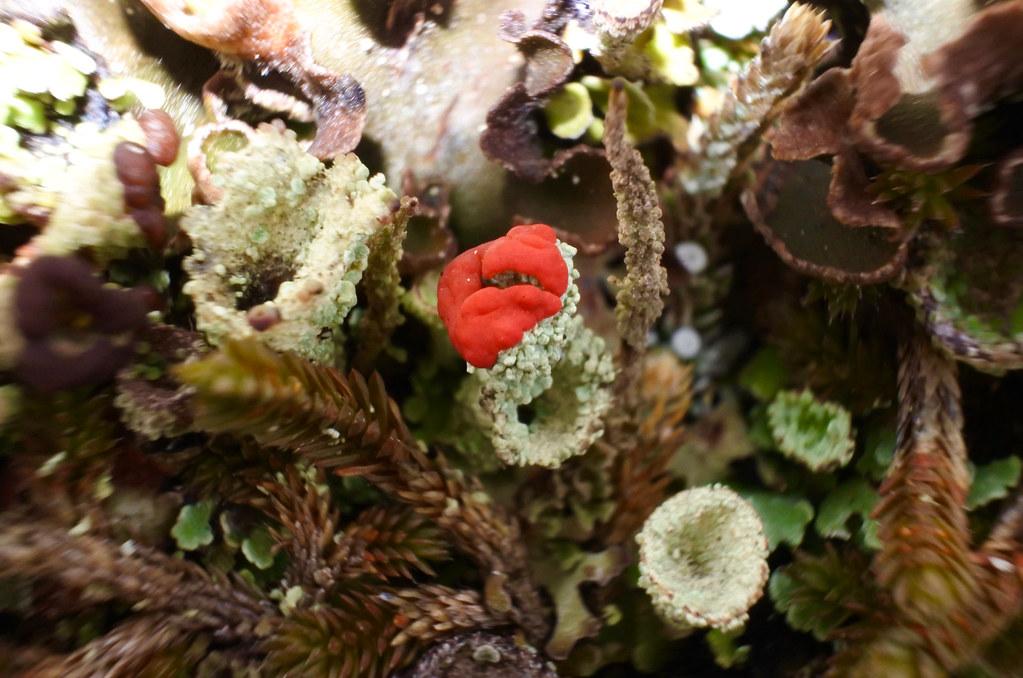 Cladonia pleurota ~ lichen