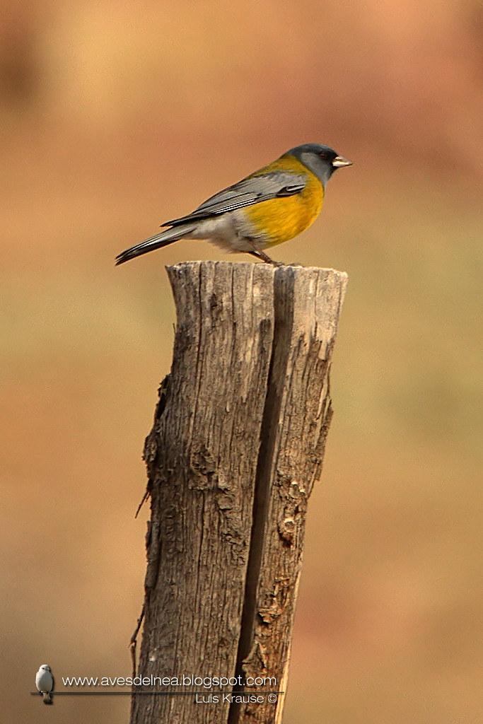 Comesebo andino (Gray-hooded Sierra-Finch) Phrygilus gayi