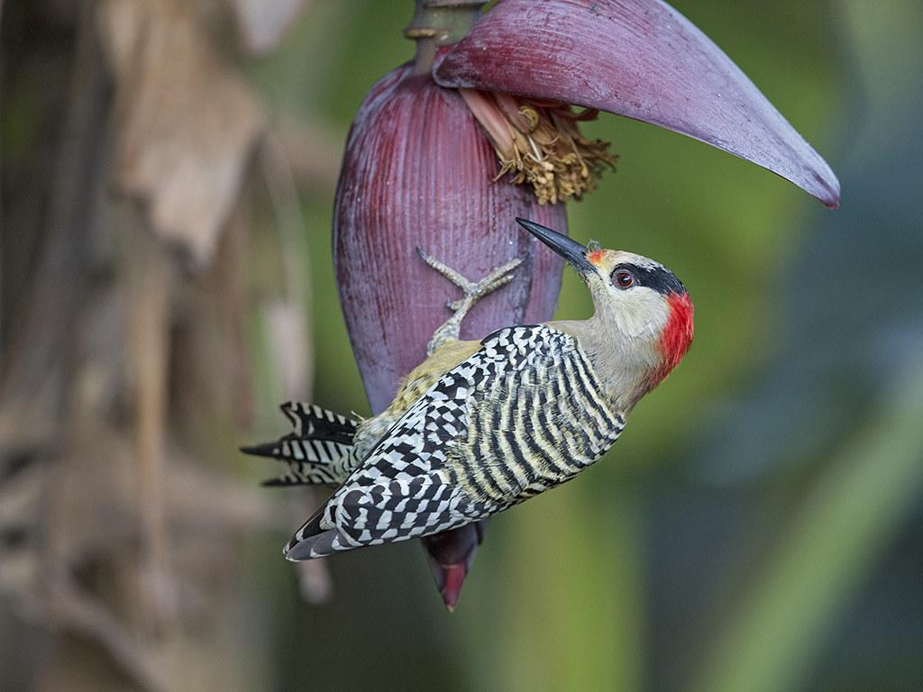West Indian Woodpecker 2