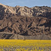 Death Valley Wildflowers 2016 _2 by The Byrne Files