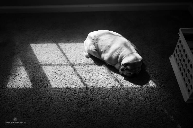 pug asleep on window sun spot-01-750