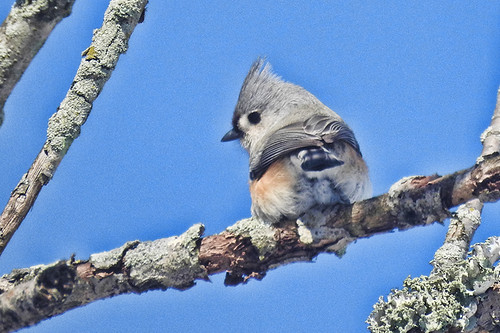 NJ: Tufted Titmouse (in my yard)