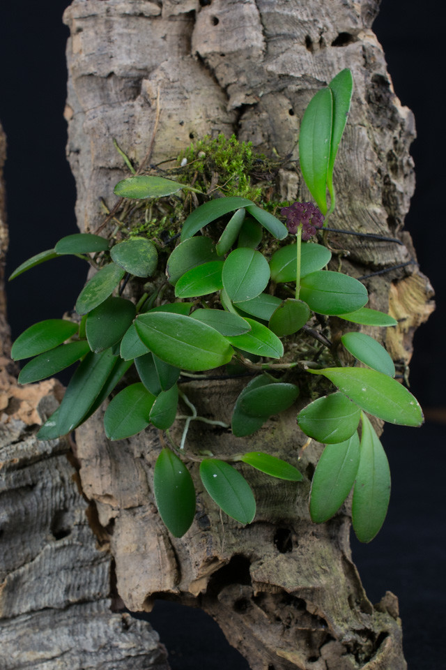 Miniatur-Orchideen Teil 3 - Seite 6 25560883935_9c1583efd8_b