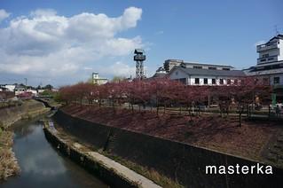 掛川の桜2