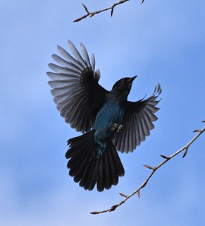 Steller's Jay (Explored. Thank you!)